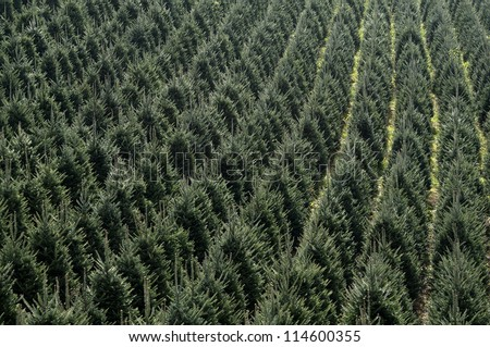 Christmas Trees All in a Row Background Horizontal - stock photo