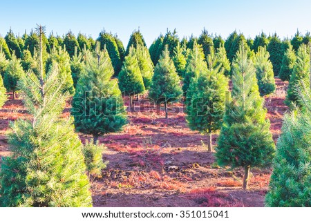 christmas trees on the red ground in the farm in country side on sunny day. - stock photo