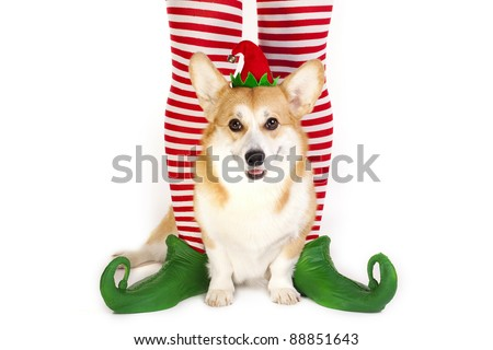 Christmas Welsh Corgi Pembroke and elf's legs - stock photo