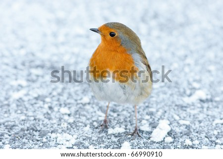 Christmas Winter Robin on Snowy Ground