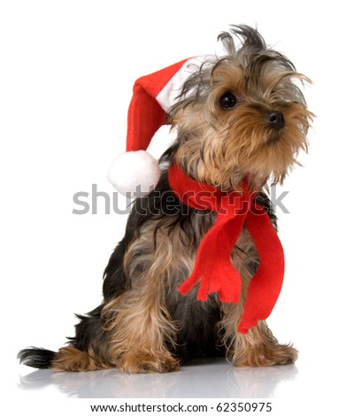 Christmas yorkie - stock photo