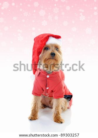 Christmas yorkie in red Santa Claus hat. - stock photo