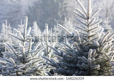christmastree plantation - stock photo