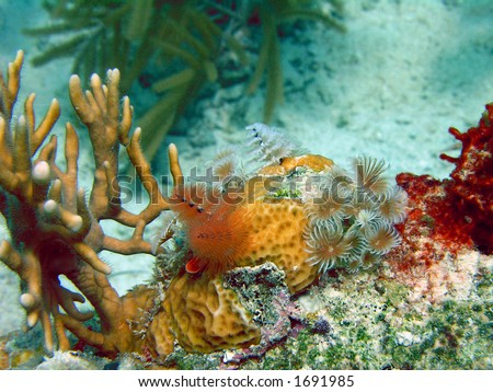 Christmastree worms and Social Feather Dusters, Coki Beach, USVI. - stock photo