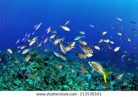 Chromis and Wrasse in Blue Water - stock photo