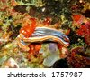 Chromodoris magnifica. Its rhinophores, gills and genital aperture cleary visible. - stock photo