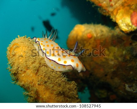 Chromodoris slug,Indian Ocean - Kenya - stock photo
