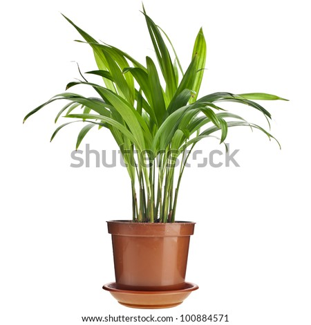 Chrysalidocarpus lutescens palm tree  in flowerpot  isolated on white - stock photo