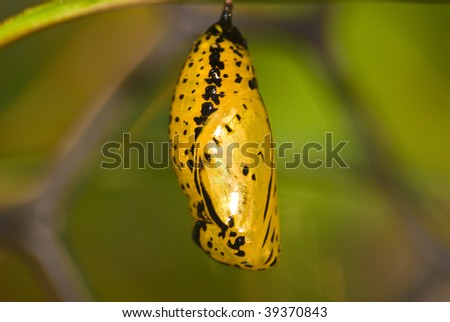 chrysalis of butterfly (Idea leuconoe) - stock photo