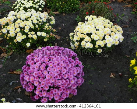 Chrysanthemum bush. Home flowerbed. Garden Garden. The natural beauty of plants in the natural environment - stock photo