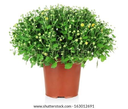 Chrysanthemum bush in pot isolated on white - stock photo