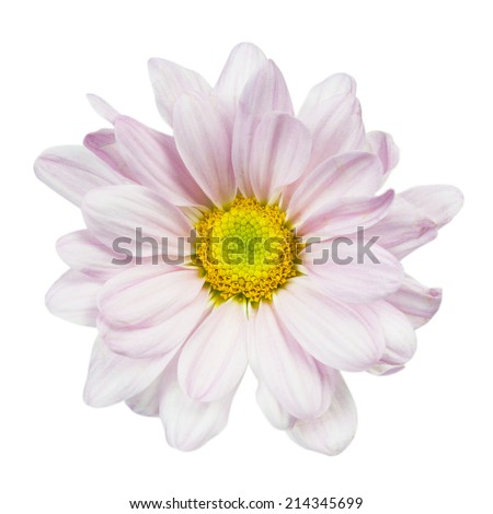 Chrysanthemum daisy isolated on white with clipping path. - stock photo