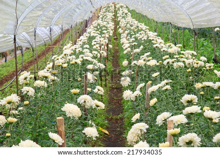 Chrysanthemum farm at Doi Inthanon National park in Chiang Mai, Province Asia Thailand - stock photo