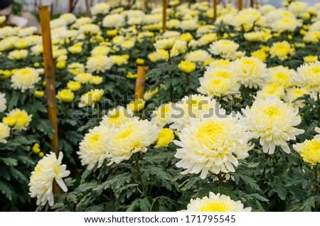 Chrysanthemum farm on Doi Inthanon mountain in Chiang Mai, Thailand. - stock photo
