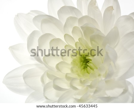 Chrysanthemum flower, abstract backgrounds - stock photo