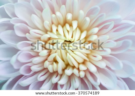 Chrysanthemum flower close up on nature background. - stock photo