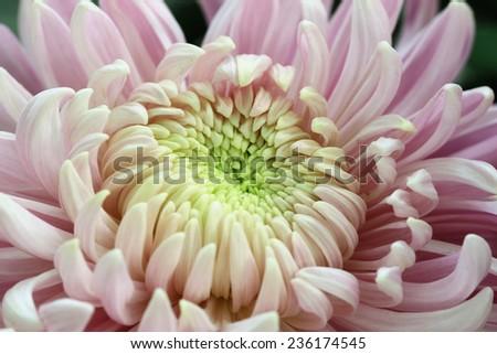 Chrysanthemum flower,closeup of purple with yellow Chrysanthemum flower in full bloom - stock photo