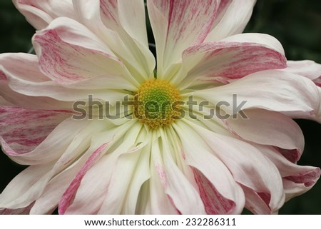 Chrysanthemum flower,closeup of white with red Chrysanthemum flower in full bloom - stock photo