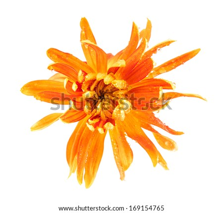 "Chrysanthemum flower ""Golden autumn"" isolated on a white background"