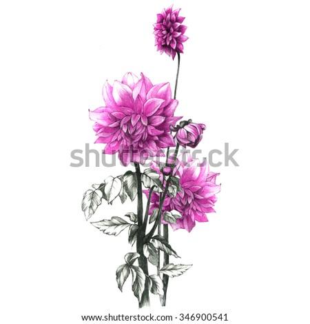 Chrysanthemum flower, hand drawn illustration - stock photo