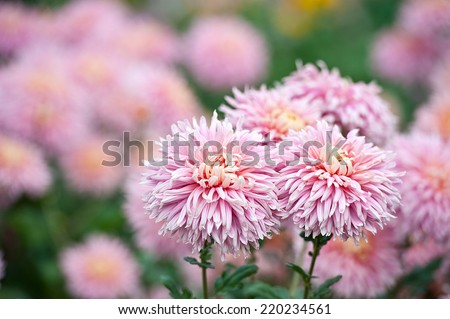 Chrysanthemum flower in the garden - stock photo
