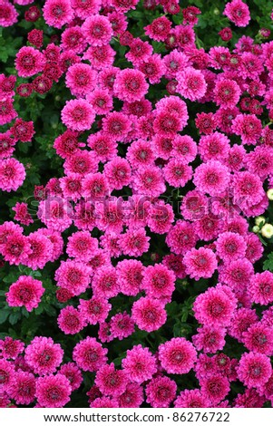 Chrysanthemum flower in the garden background - stock photo