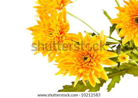 Chrysanthemum flower. Isolated on white.