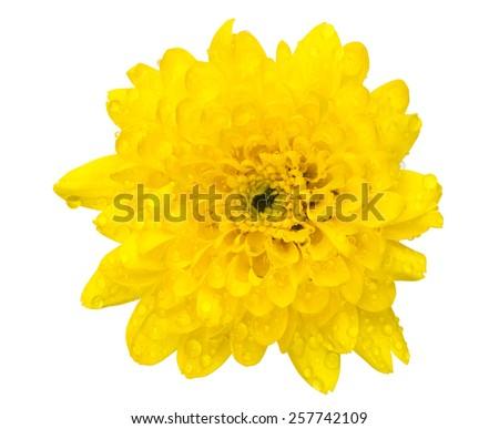 chrysanthemum flower isolated on white - stock photo