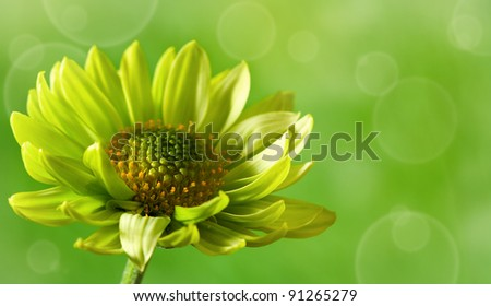 Chrysanthemum flower over green backgrounds close-up shot with copy space - stock photo