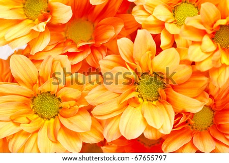 Chrysanthemum Flowers - stock photo