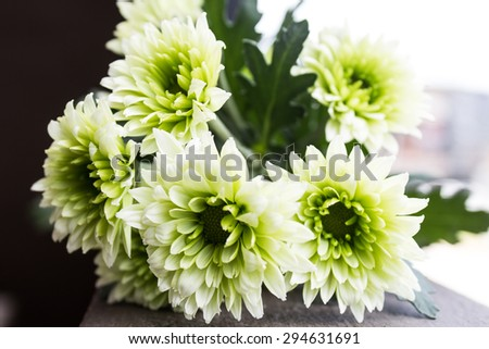 Chrysanthemum flowers,closeup of green with white Chrysanthemum flowers in full bloom  - stock photo