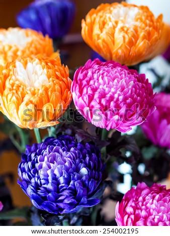 Chrysanthemum flowers in full bloom - stock photo