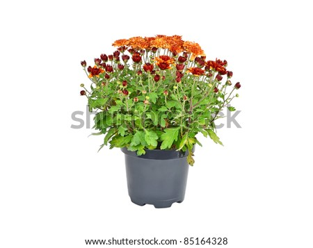 Chrysanthemum flowers sprout in pot, isolated on a white background - stock photo