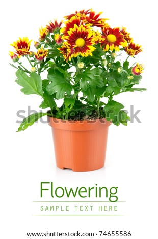 chrysanthemum flowers with green leaves in pot isolated on white background - stock photo