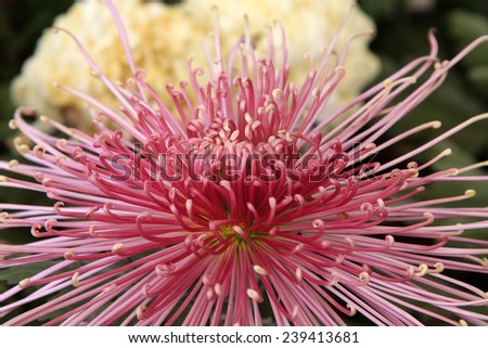 chrysanthemum in a garden