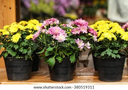 Chrysanthemum in flowerpot - stock photo