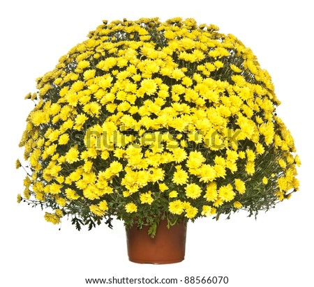 chrysanthemum in the flowerpot - stock photo