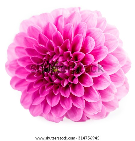 Chrysanthemum Isolated on white background - stock photo
