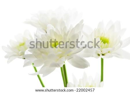 Chrysanthemum isolated over white background - stock photo