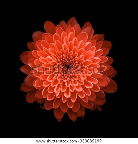 Chrysanthemum on black background - stock photo