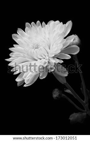 Chrysanthemum on black background, black and white color. - stock photo