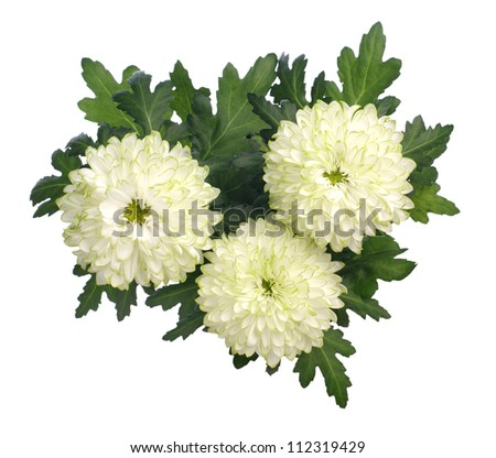 chrysanthemum on white background - stock photo