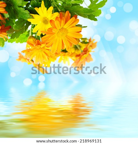 Chrysanthemum orange and yellow flowers with green leaves and water reflection on the blue sky background with sun rays - stock photo