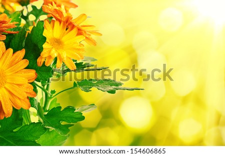 Chrysanthemum orange and yellow flowers with green leaves, floral background - stock photo