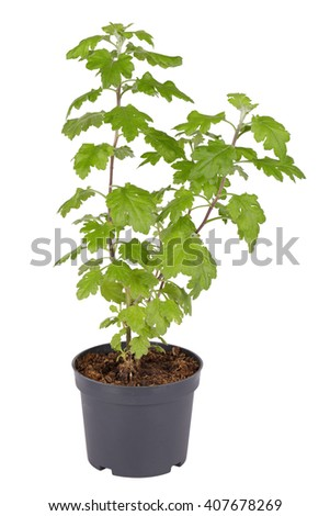 Chrysanthemum, sprouts in a plastic pot, isolated on white background