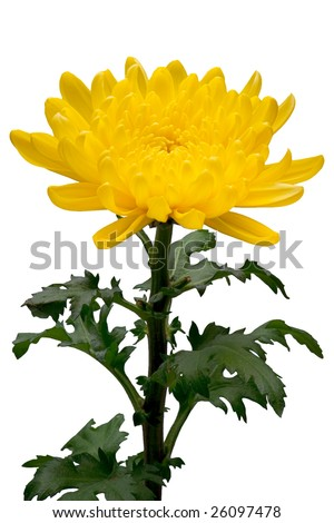 chrysanthemum with stem isolated on white background - stock photo