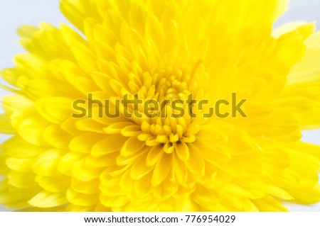 Chrysanthemum yellow.Close-up.Selective focusing.