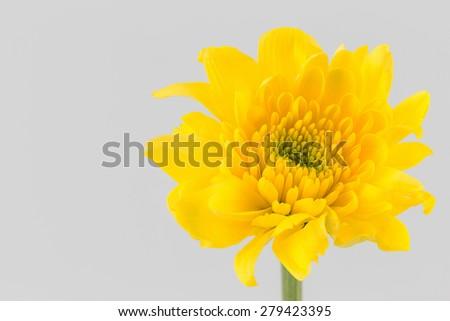 chrysanthemum yellow flower isolated on white background - stock photo