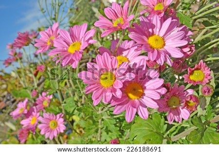 chrysanthemums bright pink color and drop from rain on it. for background - stock photo