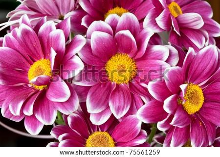 chrysanthemums close up - stock photo